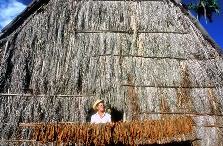 Pinar de Rio Cuba Cuban tobacco farming farm cigar cigars plantation leaf leafs. Tobacco plantation and drying shed, Pinar del Rio province, Cuba. Editorial