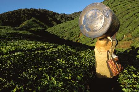Workers on a tea fields. Sungai Palas Tea Estate Cameron Highlands Perak State Malaysia Southeast Asia Asia, Malaysia.