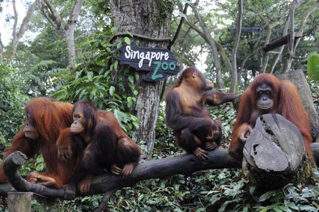 tree dweller: Singapore zoo, Orangutan (Pongo borneo), South East Asia, Singapore.