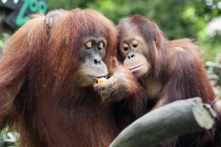 Singapore zoo, Orangutan (Pongo borneo), South East Asia, Singapore.