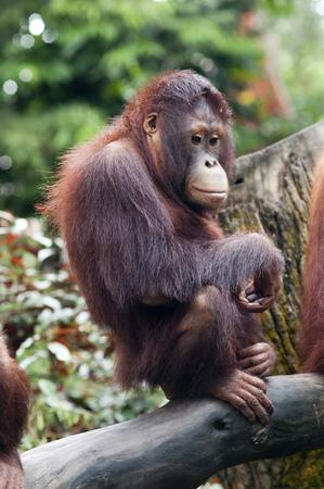 singaporean: Singapore zoo, Orangutan (Pongo borneo), South East Asia, Singapore.