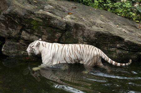 White tiger (Panthera tigris), Bengal tiger, Panthera leo in Singapore zoo.