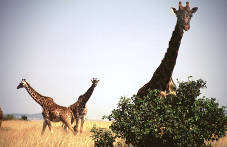 chordates: Masai Giraffes (Giraffa camelopardalis tippelskirchi) group of three, Masai Mara Game Reserve, Kenya.