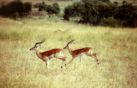 savannas: Impalas (Aepyceros melampus), two males running on high grass, Kenya, Masai Mara National Park