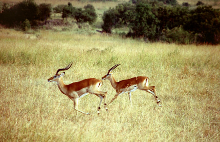 Impalas (Aepyceros melampus), two males running on high grass, Kenya, Masai Mara National Park