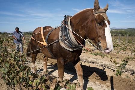 Animal traction in the vineyards. Vineyards of Raventos winery industry. Sant Sadurni dAnoia, San Sadurni de Noya. Winery building. Catalonia Spain. Employs bru horses for work in the vineyard, horse ploighing Stock Photo