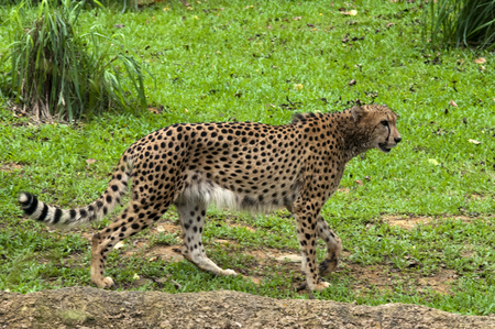 South East Asia, Singapore, Singapore zoo, Cheetah, Acinonyx jubatus