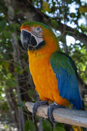 Bahamas, Grand Bahama Island, Freeport, Port Lucaya, macaw parrot. Blue and Gold Macaw