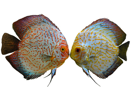 discus: Pair of Colorful Red Discus Fish Isolated on White Background