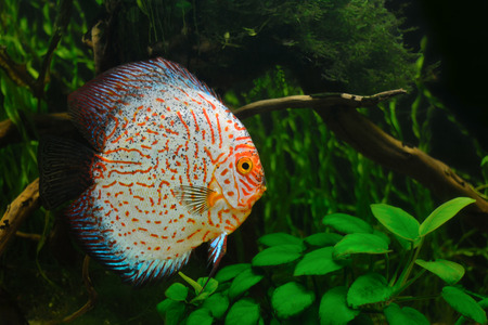 Red Tiger Pigeon Discus Fish on Natural Environment photo