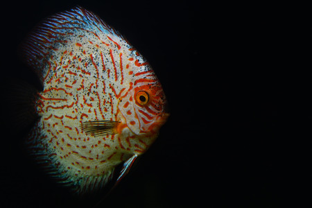 Colorful Red Discus Fish on Dark Aquarium photo