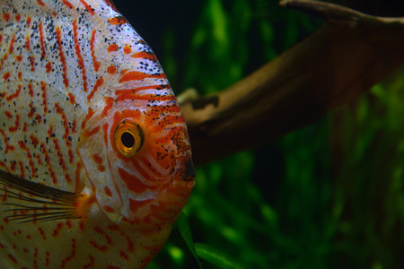 discus: Red Tiger Pigeon Discus Fish on Natural Environment