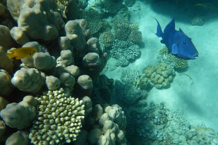 triggerfish: Blue trigger-fish among corals