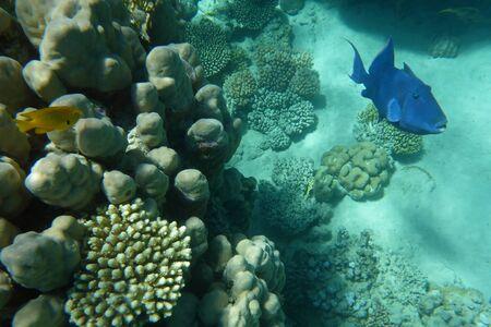 triggerfish: Blue trigger-fish among corals