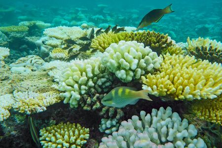 stony coral: coral reef with white stony coral and exotic fishes in tropical sea Stock Photo