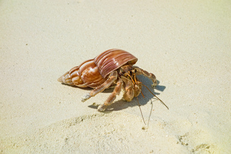 Crab on sand with a beautiful cockleshell the house