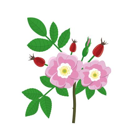 Bouquet of flowering branch of dog rose with berries on a white background.Label with rose hip isolated.Vector illustration.