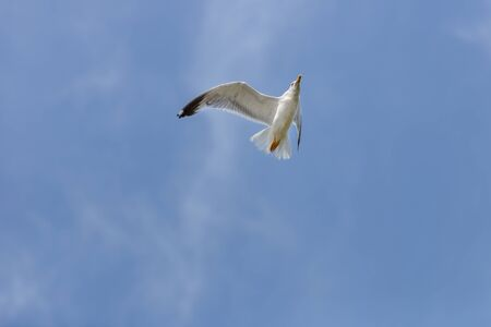 white seagull flying against the blue sky Фото со стока - 139506683