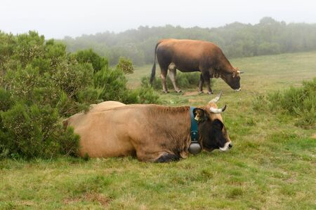 image of cows grazing on mountain meadow
