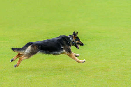 young german shepherd runs on green grass, shooting pose in a jump