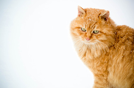 Ginger cat sitting in the winter Stock Photo