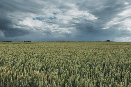 Green wheat fields on a cloudy day. Picturesque dramatic sky. Countryside landscape, agricultural fields, meadows and farmlands in summer. Environment friendly farming, industrial agriculture concept. Stock Photo