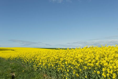 canola: Beautiful yellow flowering rape field in Normandy, France. Country agricultural landscape on a sunny spring day. Stock Photo