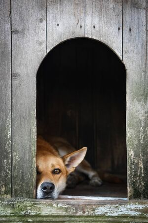 Sad view of an alone brown dog resting in the kennel - an old wooden house