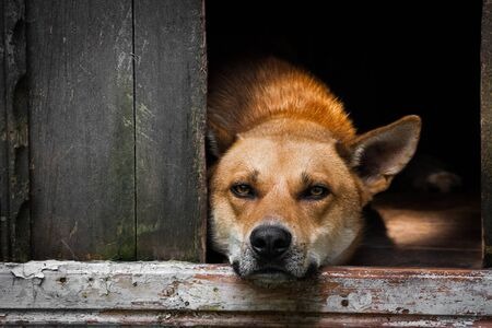 Sad view of an alone brown dog lying in the kennel - an old wooden house