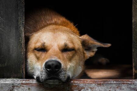 Sad view of an alone brown dog sleeping in the kennel - an old wooden house