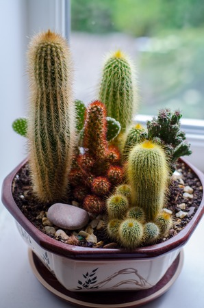 types of cactus: Composition of cactus in a flowerpot on the window sill Stock Photo