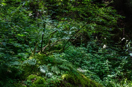 baden wurttemberg: Sun light in a humid corner of the Black wood in Triberg, Baden Germany