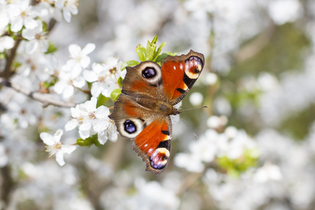inachis: Closeup of a butterfly Stock Photo