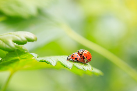 copulate: Ladybug in mating