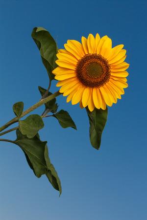 Sunflower taken against blue sky
