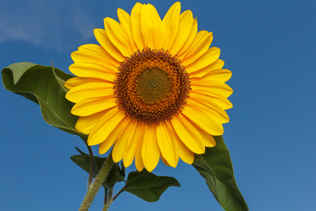 unsaturated: Sunflower taken against blue sky