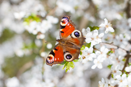 Colourful European Peacock butterfly (Inachis io), on a flowering branch of Prunus spinosa (blackthorn, or sloe) Stock Photo