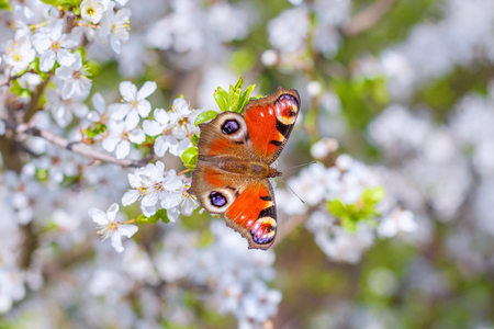 Colourful European Peacock butterfly Aglais io, on a flowering branch of Prunus spinosa blackthorn, or sloe