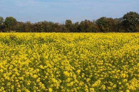 feld: Rapeseed oil flowers, Brassica napus Stock Photo