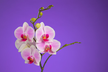 Inflorescence of butterfly orchid on lilac background