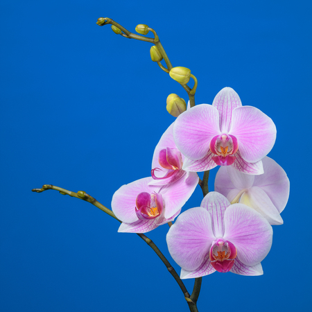Inflorescence of butterfly orchid on blue background