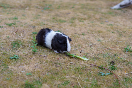 Black and white guinea pig, Cavia porcellus, nibble a leaf