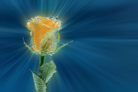 Bright yellow rose with many air bubbles as decoration or background