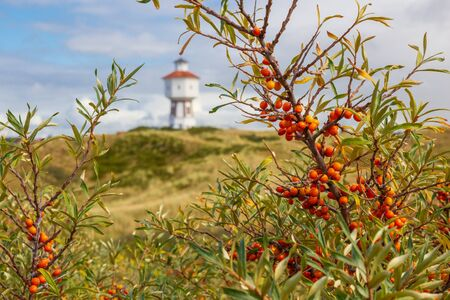 A sea buckthorn bush on the East Frisian island of Langeoog with a lighthouse in the background.