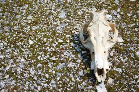 Cow skull on a vacant lot in the steppe Stock Photo - 5983809