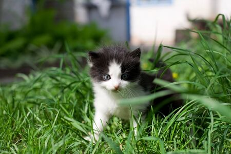 Little fluffy kitten in the early morning strolls on the green grass photo