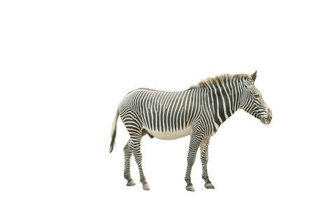 zebra horse on a white background