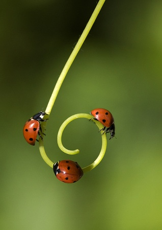insects: Ladybird on a spiral