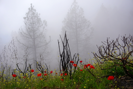 Landscape in foggy day with bright flowers and black bushes in the foreground, Gran Canaria, Canary Islands, Spain