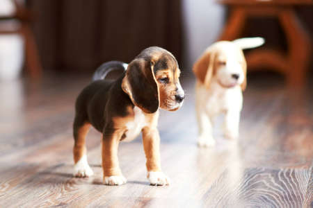 Beagle puppy playing at home on a hardwood floor. Place for text Stock Photo